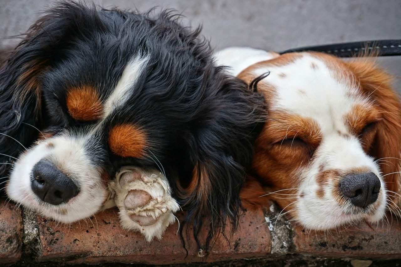 שני גורי כלבים
